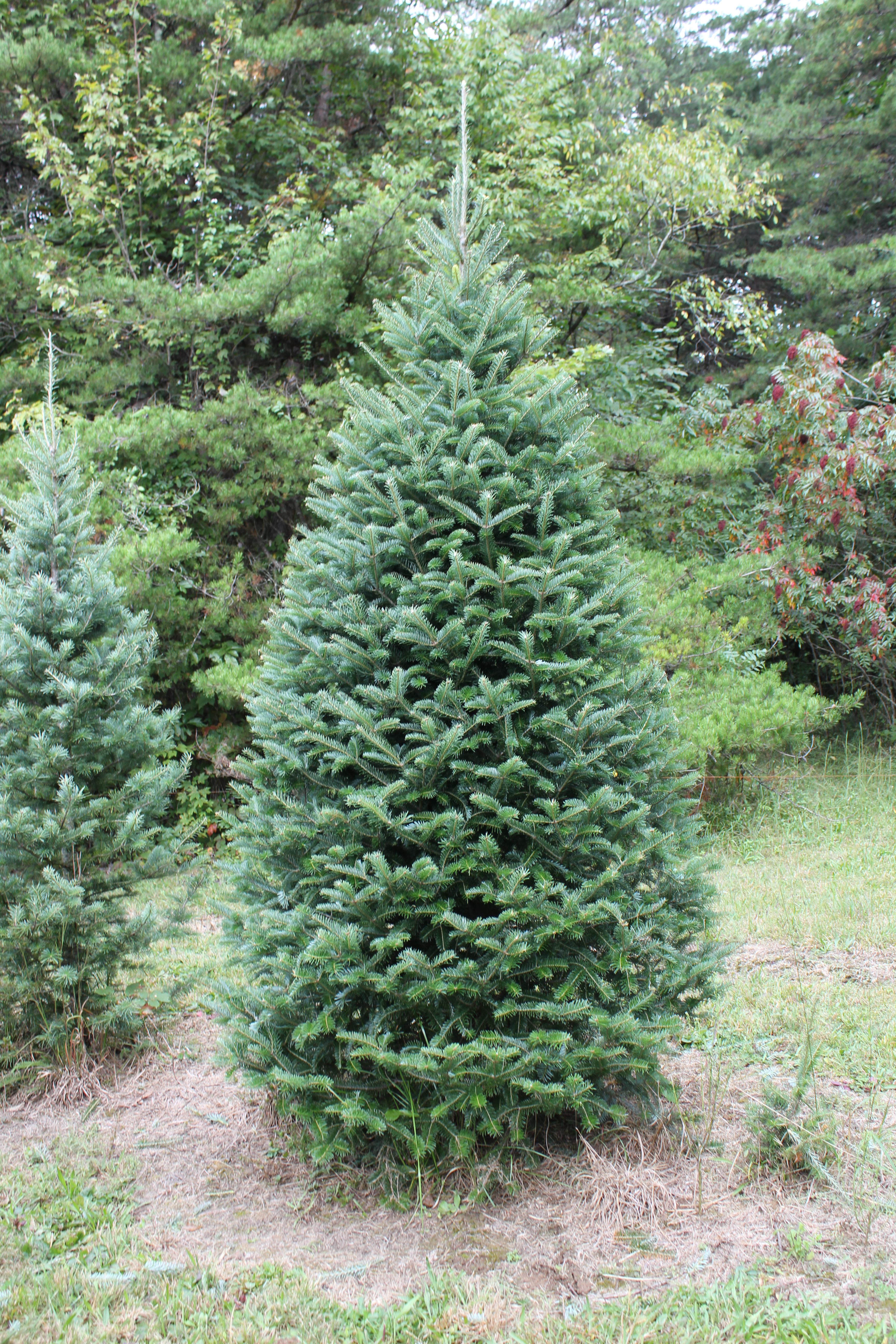 Our Products | Apsley Family Christmas Trees