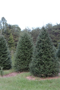 Canaan fir trees:  left and background (before shearing); Right and front (recently sheared)