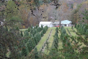Unique view of the plantation through the pines!
